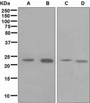NBP1-95552 - WFDC2 / WAP5