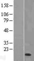 NBL1-17841 - HE4 Lysate