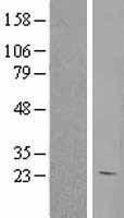 NBL1-11497 - HEBP1 Lysate
