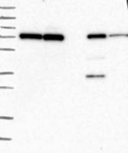 NBP1-83481 - HECTD2