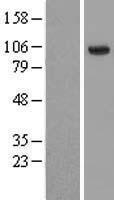 NBL1-11500 - HECTD3 Lysate