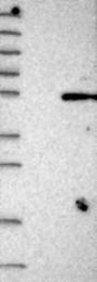 NBP1-88329 - HENMT1 / C1orf59