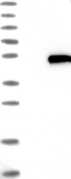 NBP1-88330 - HENMT1 / C1orf59
