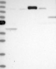 NBP1-81553 - HERC3