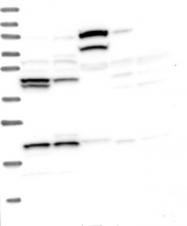 NBP1-83267 - HERPUD1