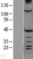 NBL1-11509 - HERPUD1 Lysate