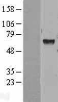 NBL1-11515 - HEXA Lysate