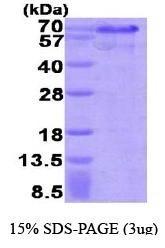 NBP1-37094 - HEXIM1