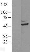 NBL1-16884 - HEXO Lysate