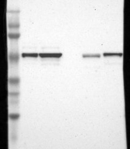 NBP1-87928 - FOXJ1 / FKHL13
