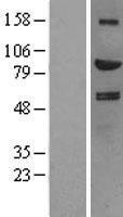 NBL1-11527 - HGF Lysate