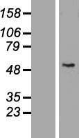 NBL1-11534 - HHLA2 Lysate