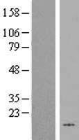 NBL1-11535 - HHLA3 Lysate