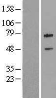 NBL1-07985 - cIAP2 Lysate