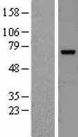 NBL1-07986 - cIAP2 Lysate