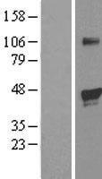 NBL1-10154 - HIF Prolyl Hydroxylase 1 Lysate