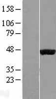 NBL1-10155 - HIF Prolyl Hydroxylase 1 Lysate