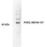 NB100-137 - EGLN1 / PHD2