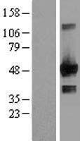 NBL1-10153 - HIF Prolyl Hydroxylase 2 Lysate