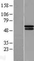 NBL1-14344 - HIF Prolyl Hydroxylase 4 Lysate