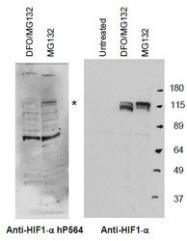 NB110-74679 - HIF1A / HIF1 alpha