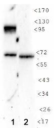 NB100-130 - HIF1A / HIF1 alpha
