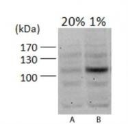 NB100-479 - HIF1A / HIF1 alpha