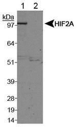 NB100-122 - HIF2A / HIF2 alpha