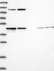 NBP1-89977 - HIF3A / HIF3 alpha