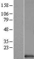 NBL1-11545 - HINT1 Lysate