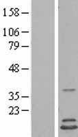 NBL1-11546 - HINT2 Lysate