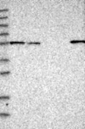 NBP1-91988 - Drebrin-like protein (DBNL)
