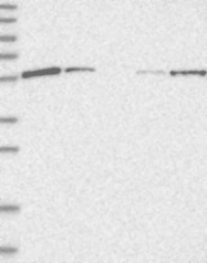 NBP1-91989 - Drebrin-like protein (DBNL)