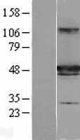 NBL1-11860 - HIPPI Lysate