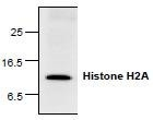 NBP1-45619 - Histone H2A type 1-C
