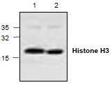 NBP1-45621 - Histone H3.1