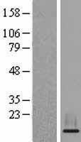 NBL1-11573 - HIST2H3A Lysate