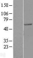 NBL1-11705 - HIV-1 Rev binding protein (HRB) Lysate
