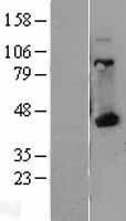 NBL1-11581 - HLA A Lysate