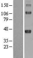 NBL1-11594 - HLA C Lysate