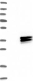 NBP1-85325 - HLA class II DM alpha / HLA-DMA