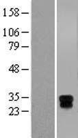 NBL1-11591 - HLA DMA Lysate