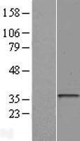 NBL1-11596 - HLA DOA Lysate