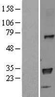 NBL1-11583 - HLA DPB1 Lysate