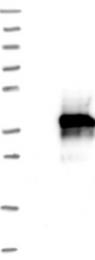 NBP1-89687 - HLA-DQA2