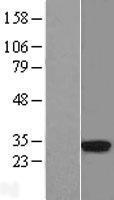 NBL1-11590 - HLA DRA Lysate