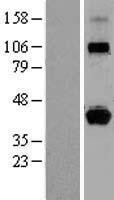 NBL1-11592 - HLA G Lysate