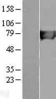 NBL1-11597 - HLCS Lysate