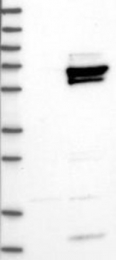 NBP1-89719 - HLX1