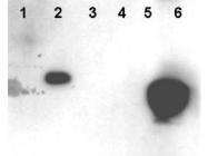NBP1-78102 - HDAC1